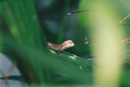 Baby Oriental Garden Lizard (Calotes versicolor) on the leaves. Found widely in Asian countries. camouflage garden lizards. Close up chameleon details.