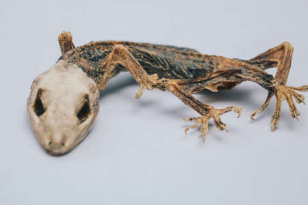 Dried dead small lizard showing its body skeleton isolated on white. Banco de Imagens