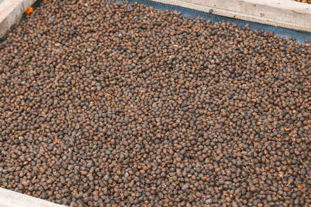 Dried Robusta Coffee Bean Cherry with greenhouse solar drying system. Dry with Natural Process.