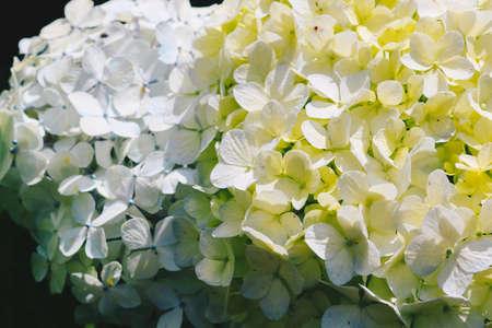 Blue Hydrangea (Hydrangea macrophylla) or Hortensia flower or blue flower. Shallow depth of field for soft dreamy feel. Reklamní fotografie