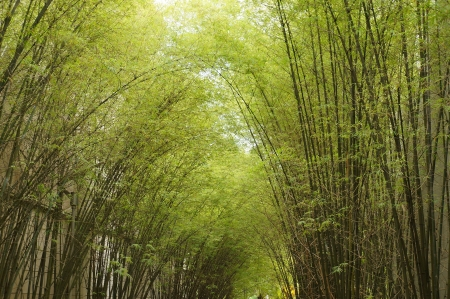 Bamboo forest. Trees background inside tropical jungle photo