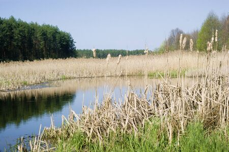 broadleaf: Spring, broadleaf cattails in the backwater of the river, landscape, nature Stock Photo
