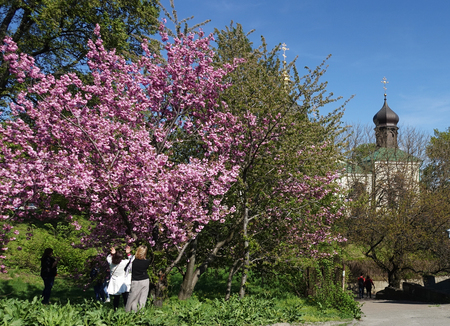 People in the Botanical Garden in Kiev are admiring the blossoming spring tree...