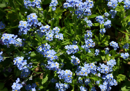 Bright blue forget-me-nots in a meadow in the spring