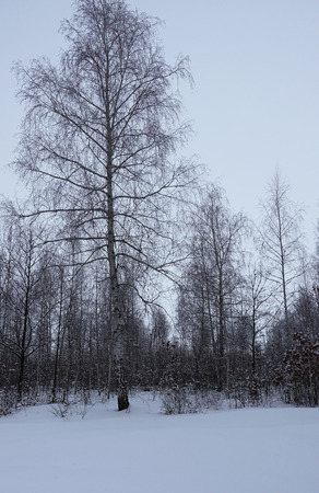 Birch on the background of the forest in the winter morning