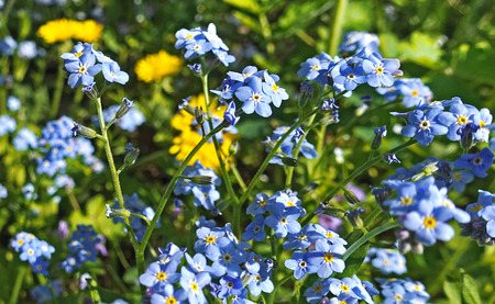 Spring flowers of forget-me-nots and yellow dandelions in the grass Standard-Bild