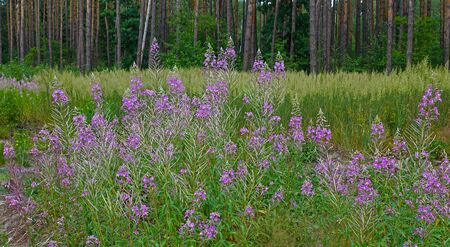 Flowers of fireweed growing on the edge of the forest
