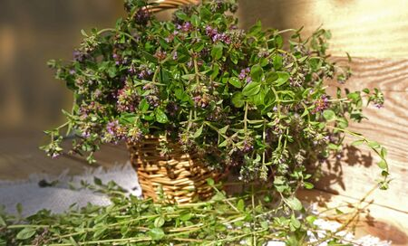 Basket with fragrant thyme flowers Harvesting thyme herb. Medicinal herbs. Collecting herbs Reklamní fotografie