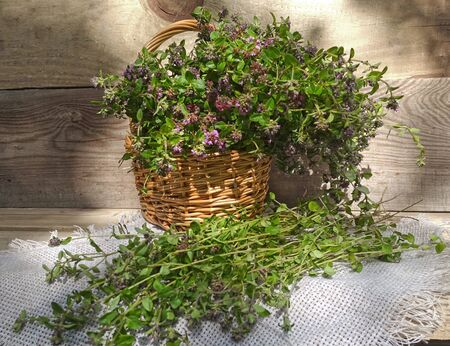 A blooming bouquet of wild thyme in a basket and on a napkin. Harvesting thyme herb. Medicinal herbs. Collecting herbs Фото со стока