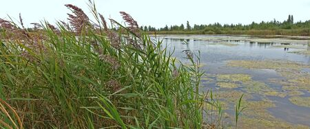 Lakes overgrown with reeds on a cloudy summer day