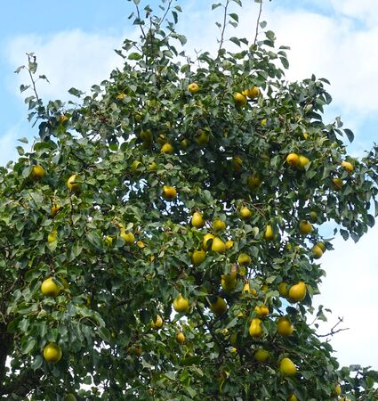 Pear trPear tree with yellow ripe pears, against the skyee with yellow ripe pears, against the sky 写真素材