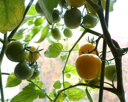 A bush of ripening yellow indoor tomato on the window. Close-up. Reklamní fotografie