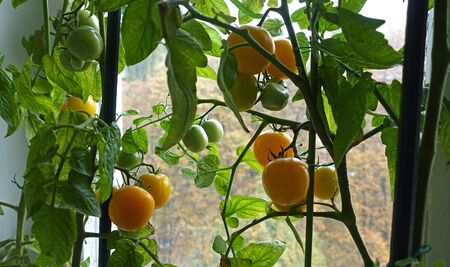 Ripe yellow indoor tomatoes hang on a vine of a tomato bush on the window. Tomatoes are on the background of green foliage and yellow autumn trees outside the window .. Growing tomatoes on the window. Garden on the windowsill.