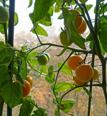 Indoor tomatoes growing on a window against a background of yellow autumn trees Reklamní fotografie