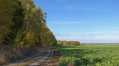 A road running along a sugar beet field. Sunny autumn day Standard-Bild
