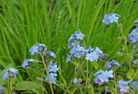 Forget-me-nots on a background of green grass on