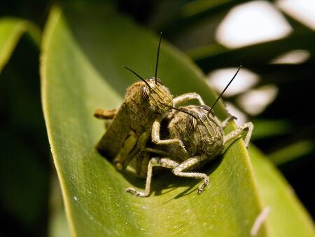 Couple of locust on a leaf