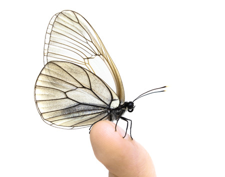 butterfly hand: White tender butterfly on finger on the white background