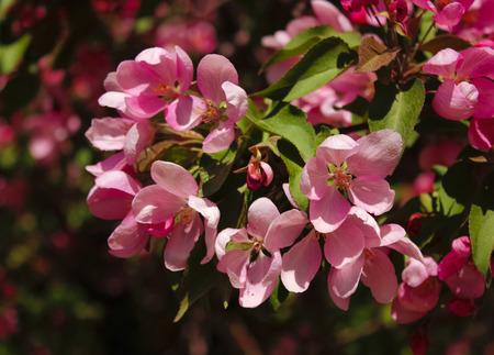 Flowers of decorative pink apple tree closeup