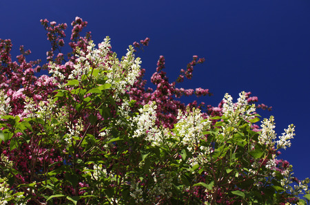 Spring flowers of white lilac and pink apple