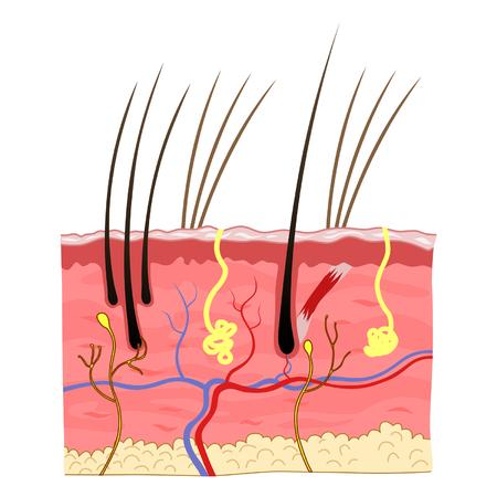 dermatologist: cat skin structure