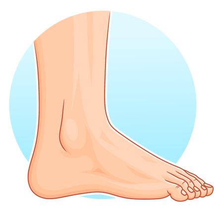 alfa: Illustration of realistic human foot