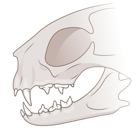 domestic cat: Domestic cat teeth and skull illustration