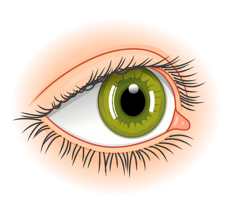 eyelids: Eye illustration