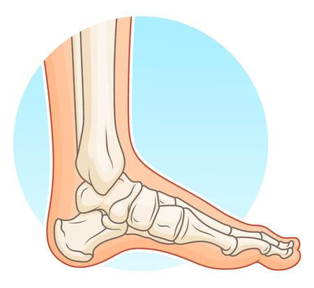 Menselijke voet met botten