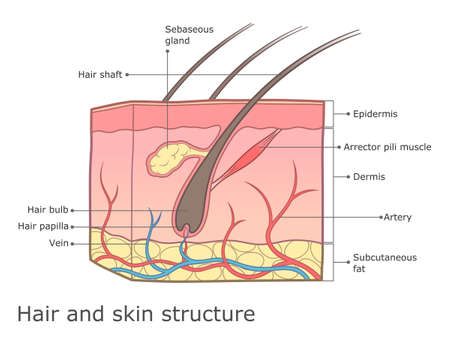 Human skin and hair structure medical infographic.
