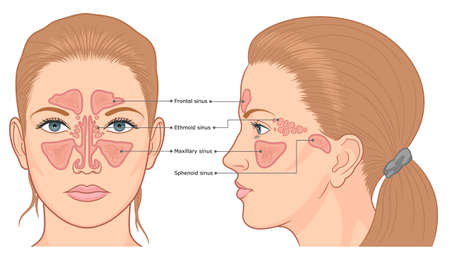 Sinuses anatomy front and side