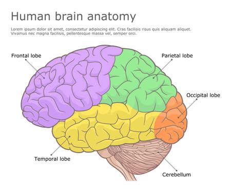 Human brain anatomy medical illustration Illustration