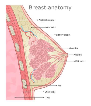 Woman breast anatomy medical vector illustration. Illustration