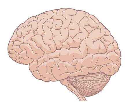 Human brain medical illustration
