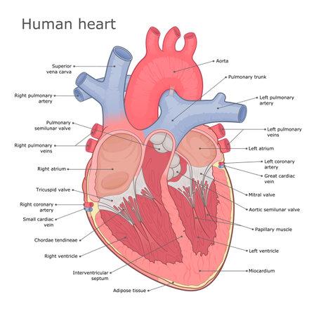 Human heart anatomy vector diagram. Medical infographic. Heart internal physiology. Illustration