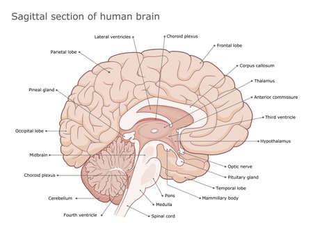 Human brain internal anatomy vector diagram. Sagittal section of the brain. Medical infographic.