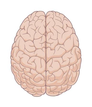 Brain top view illustration Illustration