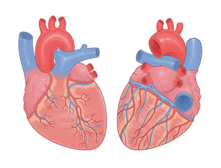 Heart anatomy front and back view