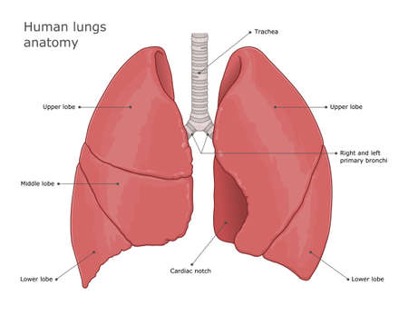 Human lungs medical illustration