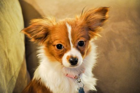 rescued: Rescued Papillon Puppy