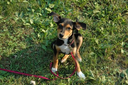 beagle mix: Meagle Puppy Sitting Stock Photo