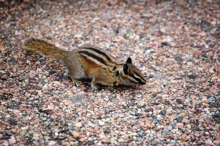 Chipmunk poses on boulder