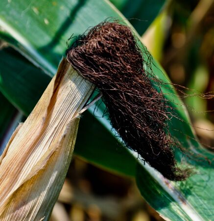 Corn field Stock Photo - 10916545