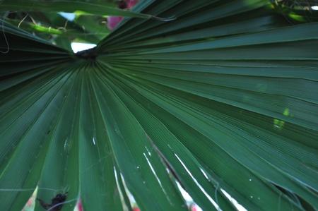 palmetto: Palmetto Frond