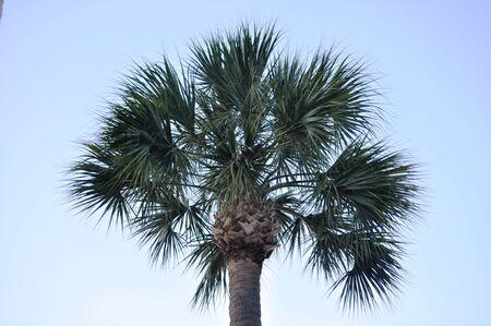 palmetto: Palmetto Tree Stock Photo