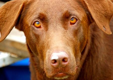 Brown dog stares Stock fotó
