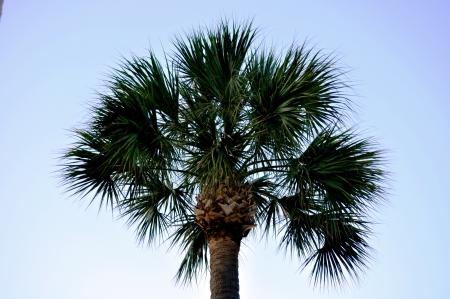 Palmetto Tree Stockfoto