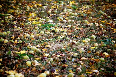 hickory nuts: Hickory nuts on the ground