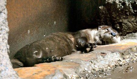 Otter takes a nap