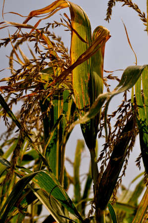 tassles: Corn field 2